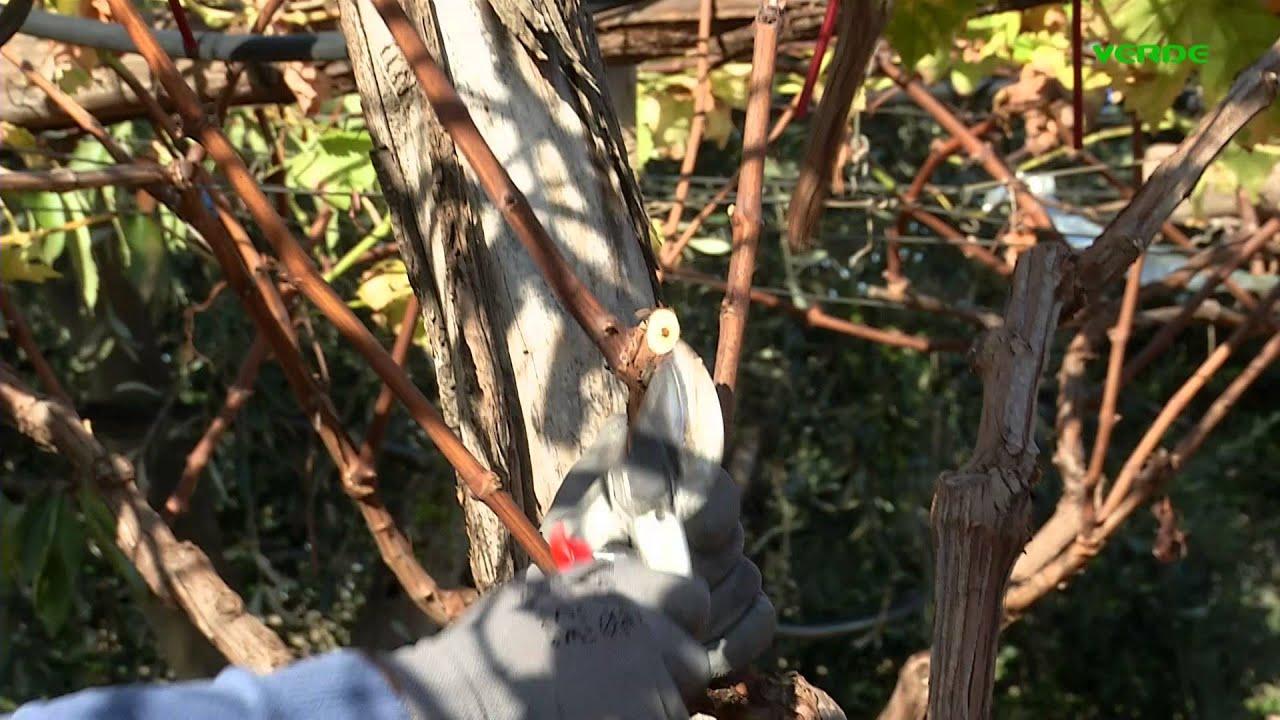 Potatura della vite youtube - Potatura uva da tavola ...