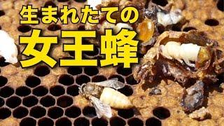 http://www.kumamoto-honey.com はちみつ収穫中に女王蜂が生まれました...