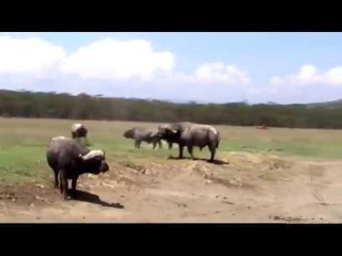 JOURNEY ACROSS KENYA   Samburu via Nakuru to the Mara
