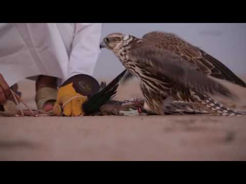 Falconry In Qatar - 02/01/2016