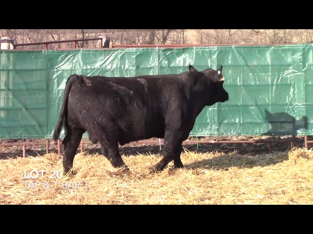 T Bar T and Taliaferro Angus Lot 20