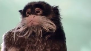 Emperor Tamarins at London Zoo - Making Animal Babies - BBC