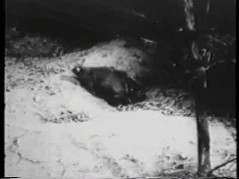Behavior of Wild Norway Rats (US Army and John B. Calhoun, 1957)
