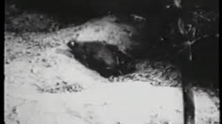 Behavior of Wild Norway Rats (US Army and John B. Calhoun, 1957)