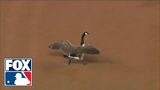 A Goose crashes a baseball game... and then crashes into scoreboard | ...