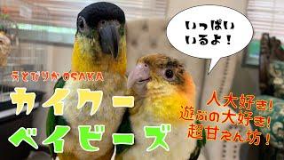 【えとぴりかOSAKA】カイクーベイビーラッシュ!!【ズグロシロハラインコ・シロハラインコ】