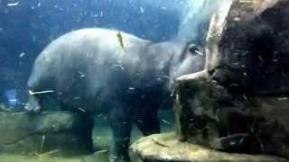 2014.10.10 旭山動物園のカバ館で 水中を まるで飛んでいるように泳ぐ百...