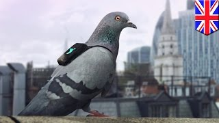 London air pollution: Pigeons wearing backpacks to track and tweet NO2 levels - TomoNews