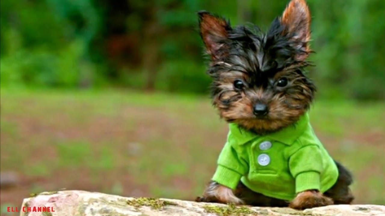 10 ყველაზე პატარა ძაღლი
