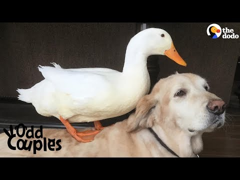 Dog Is Completely Obsessed With His Duck Brother | The Dodo Odd Couples