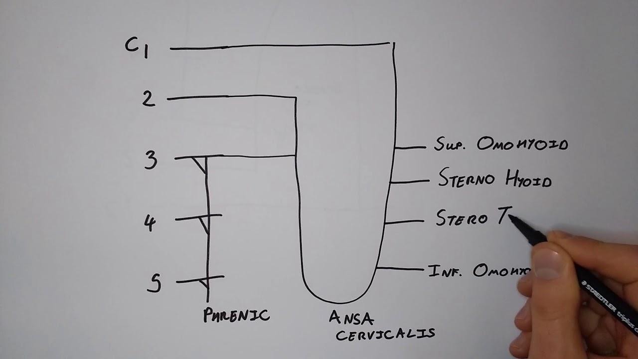 Cervical Plexus I  U2013 Quick  U0026 Functional Drawing   Basic