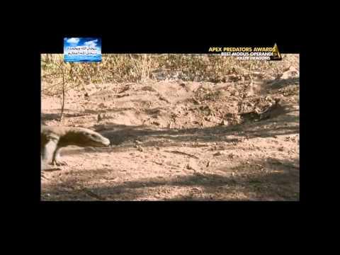 تنين الكومودو آكل لحم البشر  Komodo Dragon the cannibal