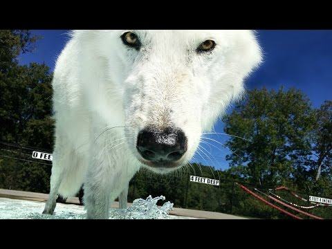 Pool Day For Atka the Arctic Wolf