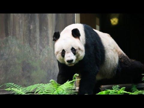 World's Oldest Panda Jia Jia Dies