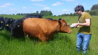 Angus cattle attack German tourist group in Metelys farm Lithuania