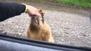 Напоили пивом камчатского медведя