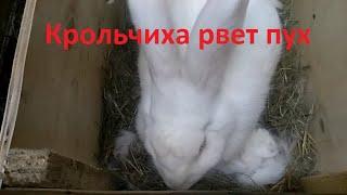 Крольчиха рвет пух, кролик готовит гнездо