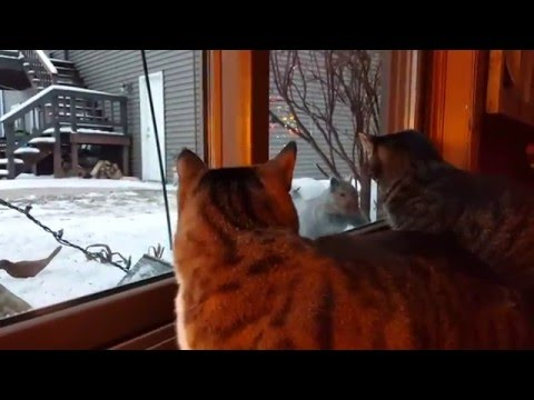 Cat Teased By Squirrel One Too Many Times
