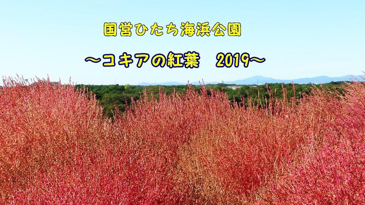 ひたち 海浜 公園 コキア 見頃 2019