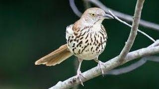Brown Thrasher, Burung Dengan 1.100 Jenis Lagu