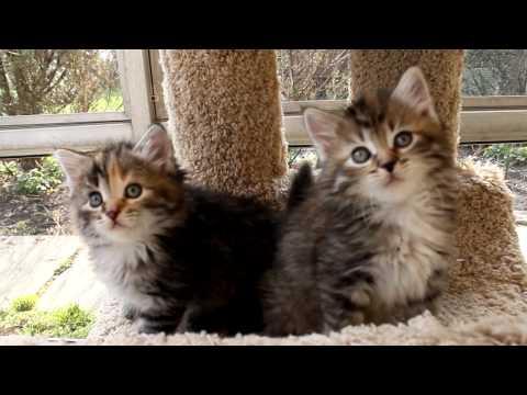 Siberian kittens - 6 weeks old