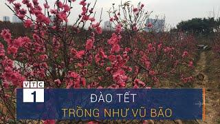 Đào Tết trồng như vũ bão, nguy cơ ế chỏng ế chơ | VTC1