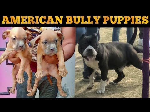 Repeat American bully puppy for sale by Dogy Shogy - You2Repeat