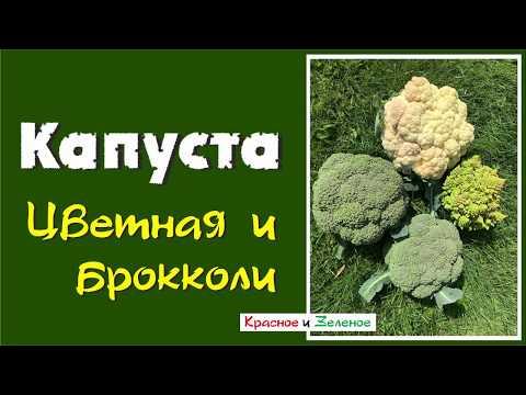 Почему не растут головки цветной капусты и брокколи? Все причины.