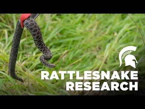 Rattlesnake Research   Michigan State University