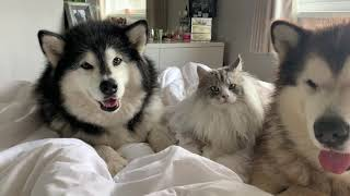 What It's Like To Wake Up With Giant Fluffy Malamutes! (Cutest Fluffy Pets!!)