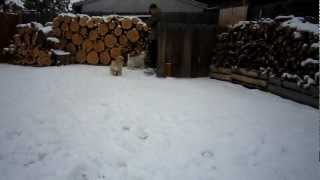Christmas Snow 2012 Cocker Spaniels Video One.