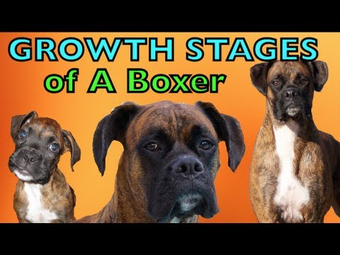 The Growing Stages of a Boxer (2 months-2 years) BROCK THE BOXER DOG