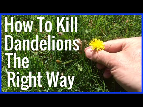 How To Kill Dandelions The Right Way!