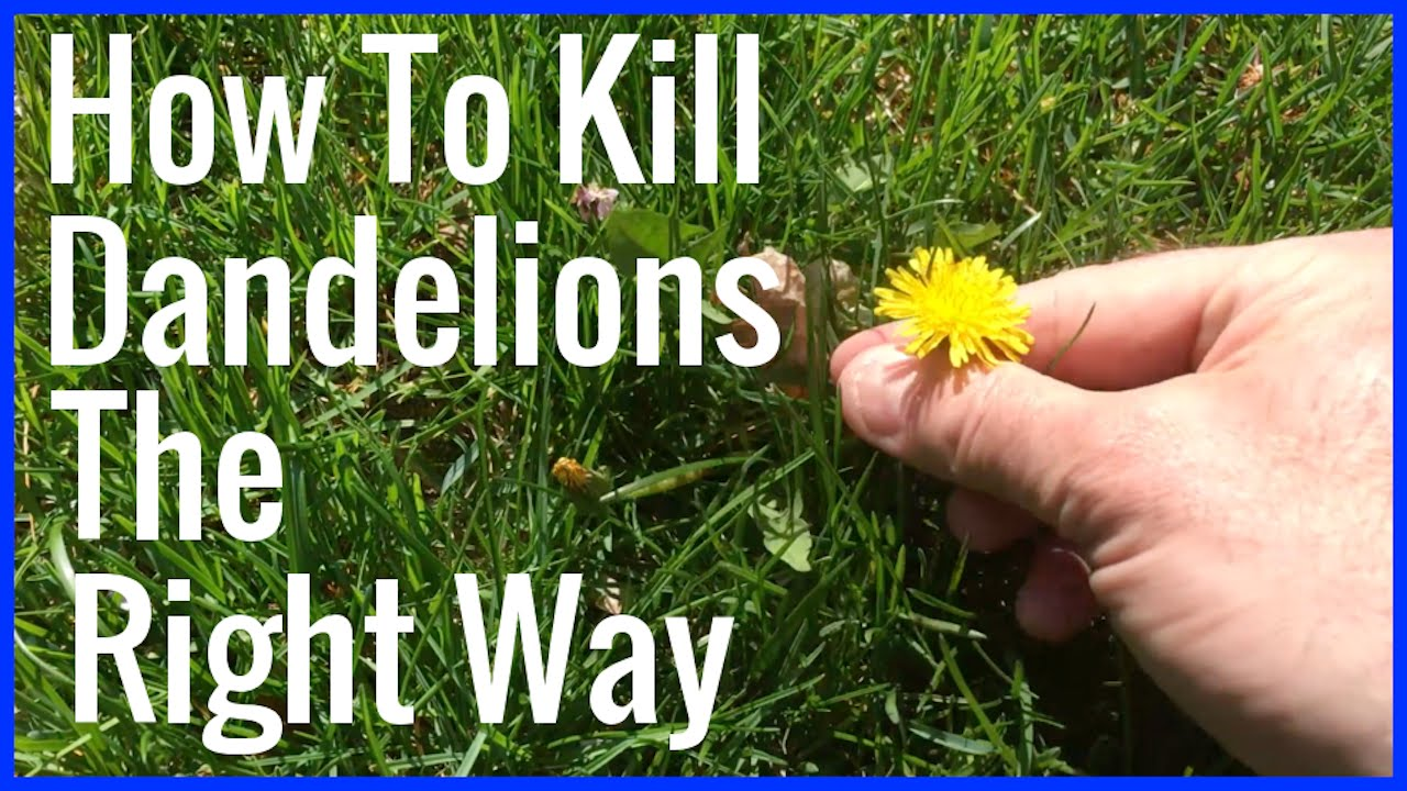 How To Kill Dandelions The Right Way Youtube