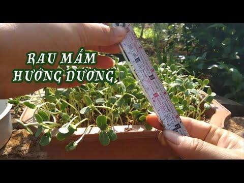 Cách trồng rau mầm hướng dương chắc chắn thành công