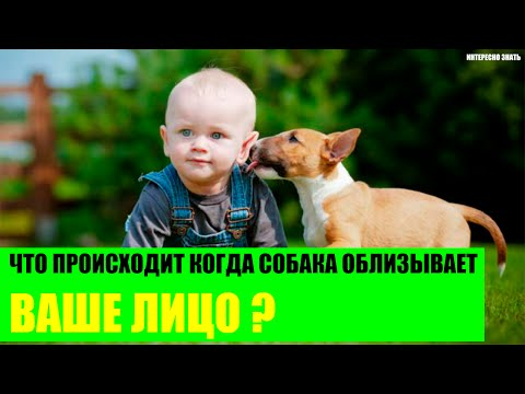 Что происходит когда собака облизывает ваше лицо?