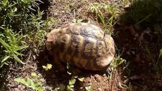 Hermann's Tortoise Covering The Nest