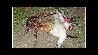 Giant coconut crab sneaks up on a sleeping bird and kills it
