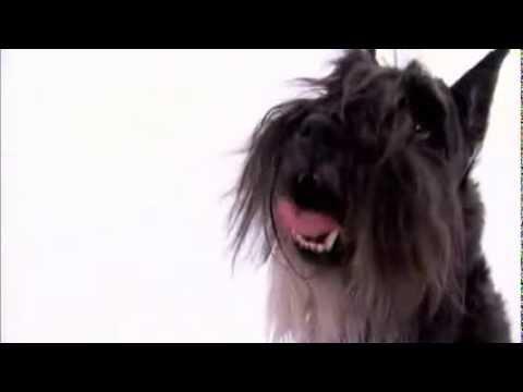 dogs 101 - miniature schnauzer