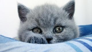 Эти глаза напротив. Британский котенок.