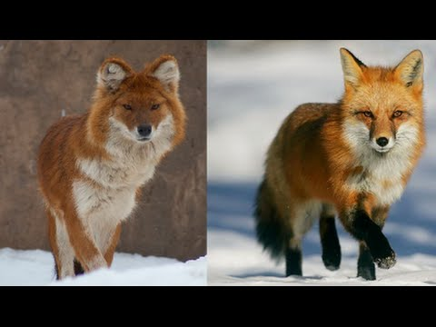 11-dogs-that-looks-like-a-fox
