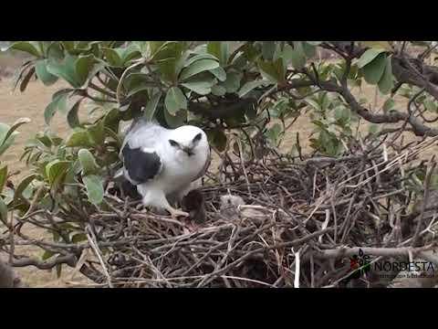 (Elanus Leucurus) White-tailed Kite/Gavião-peneira