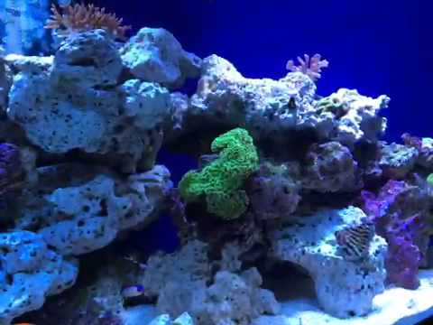 ultra green wall hammer coral youtube