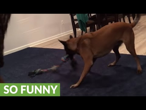 Belgian Malinois can't stop spinning in circles