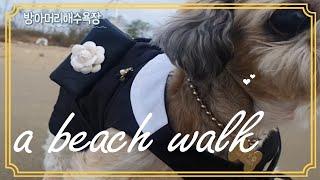 강아지 브이로그 14살 시츄 바닷가 산책