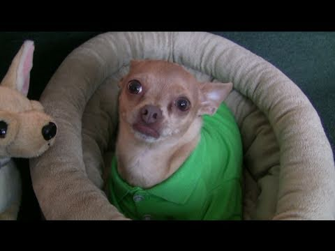 TOMMY THE VICIOUS CHIHUAHUA PROTECTS BONE, ATTACKS TOY DOG!
