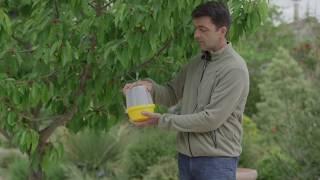 Comment lutter naturellement contre le ver des cerises et la mouche des cerisiers ?
