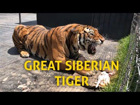 GREAT SIBERIAN TIGER