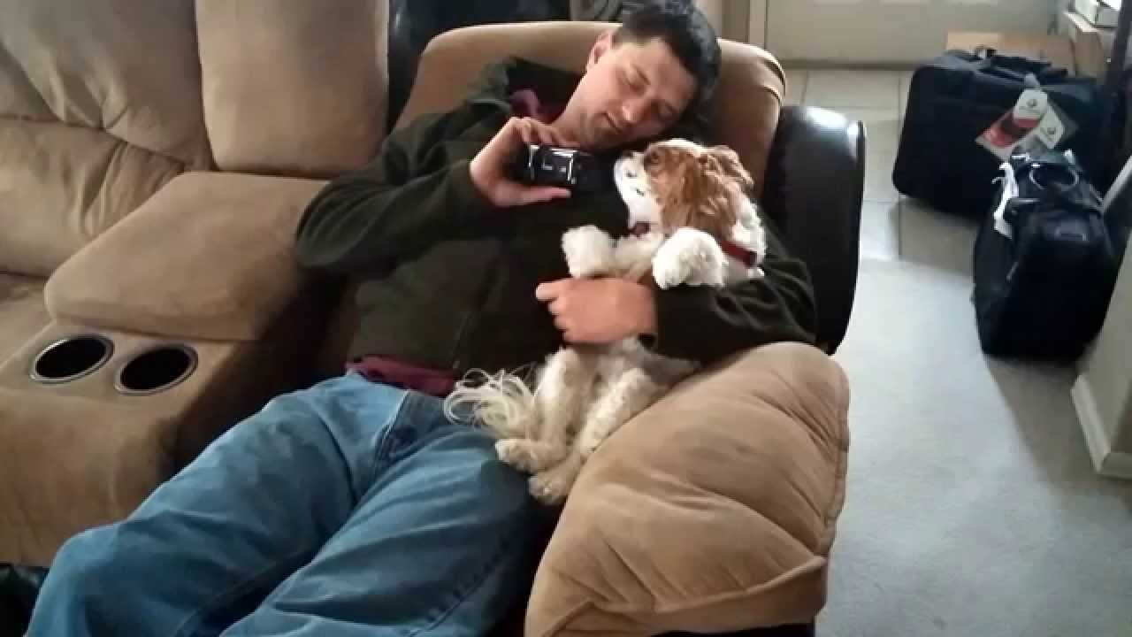 Resultado de imagen para cavalier king charles spaniel cuddle owner