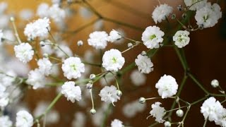 Гипсофила из холодного фарфора(Гипсофила из холодного фарфора или полимерной глины. Легкий способ слепить цветок гипсофилы. Это простой..., 2014-11-22T16:44:31.000Z)